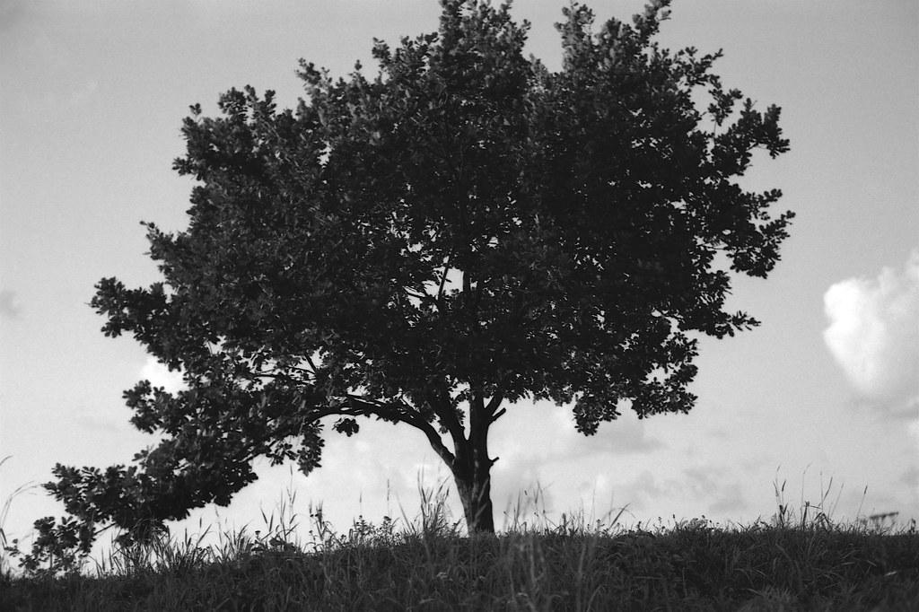 Dąb / Oak tree