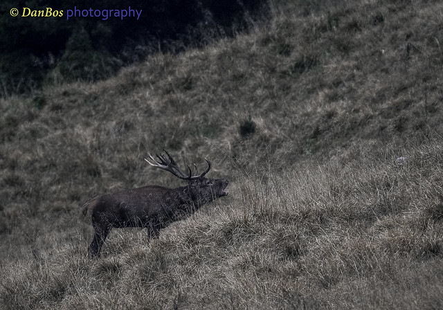 The Deer roaring