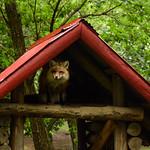 キツネ - Fox