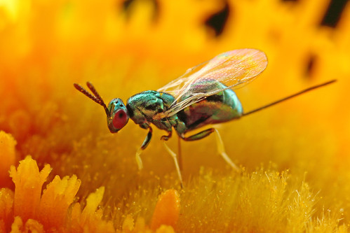 Torymus wasp