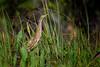 American bittern (Botaurus lentiginosus) wading in Babcock Wildlife Management Area, Punta Gorda, Florida by diana_robinson