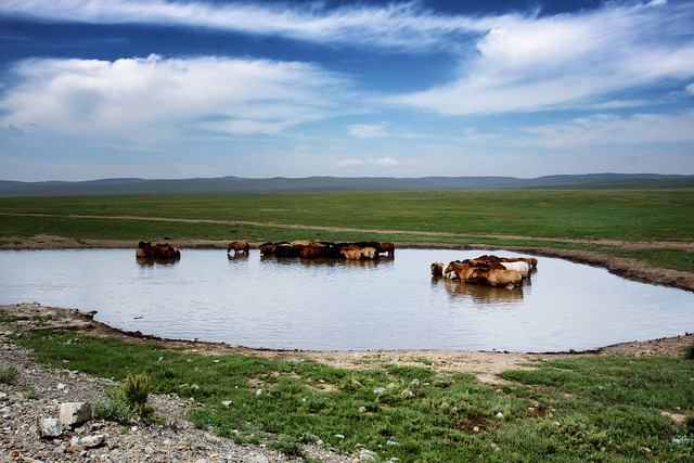 Horses Bathing On The Mongolian Plains