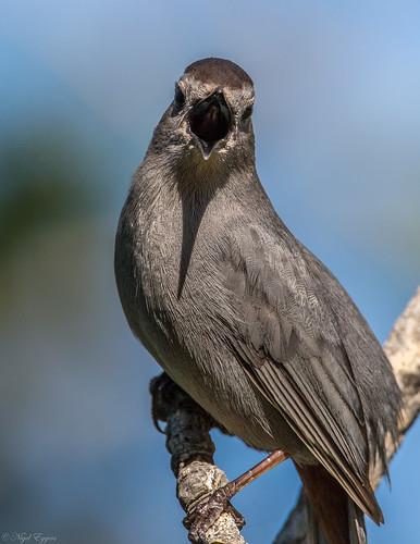 greycatbird graycatbird catbird dumetellacarolinensis dumetella slatecoloredmockingbird mimidae nigelje okanagan
