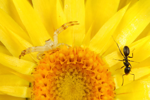 Flower Spider and ant