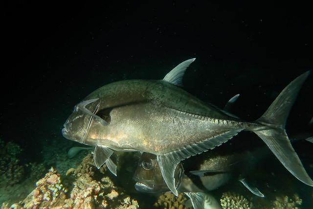 Carangide. Giant Jack. (Caranx Ignobilis).