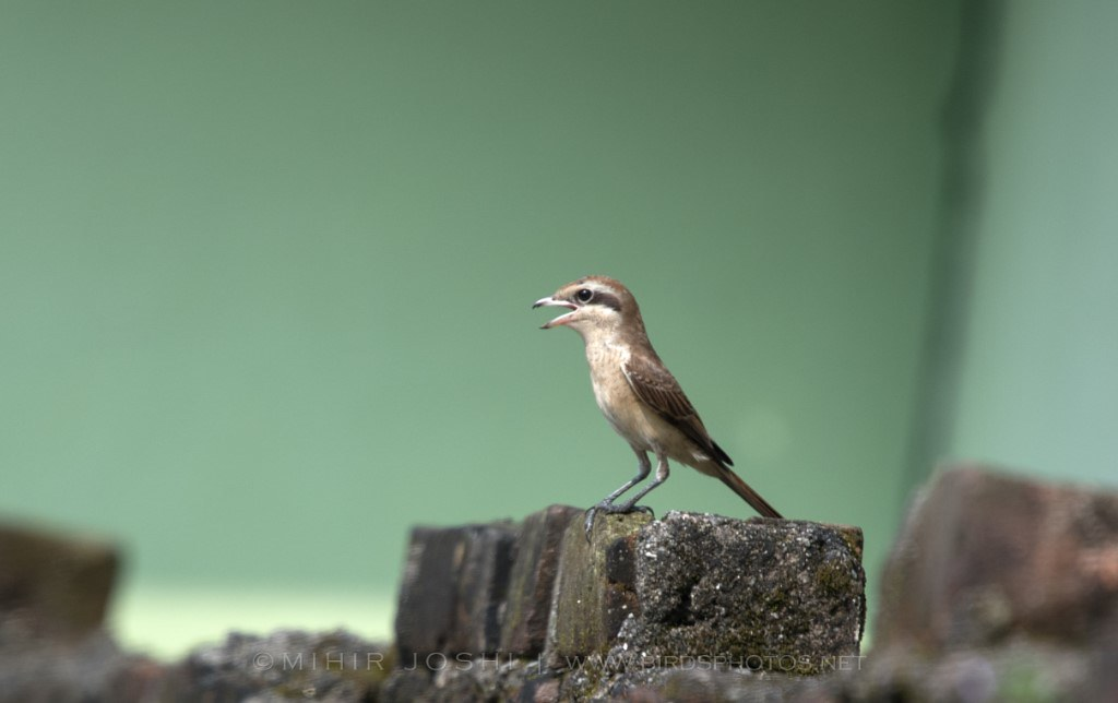 Brown Shrike [Alcaudón Pardo]