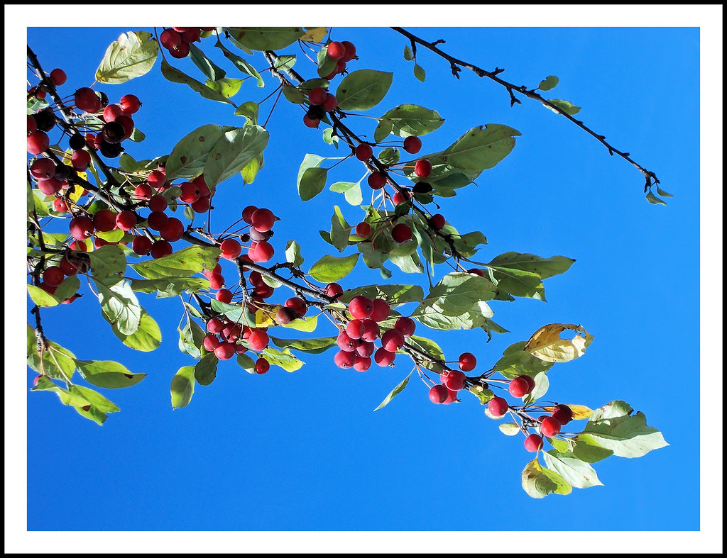 Red Berries Of A Michigan Autumn I Spotted This Tree Loade Flickr