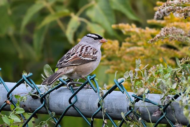 Bruant à couronne blanche -------------------------------------  White crowned Sparrow ---     Gorrión corona blanca