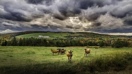 cow landscapecampaign campagne vache paysagequébécois paysagedautomne quebeclandscape autumnlandscape autumncolors nikond800e