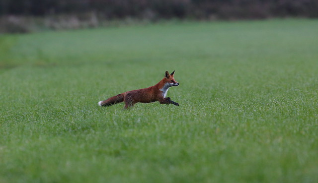 Foxy Encounter (2 of 5)