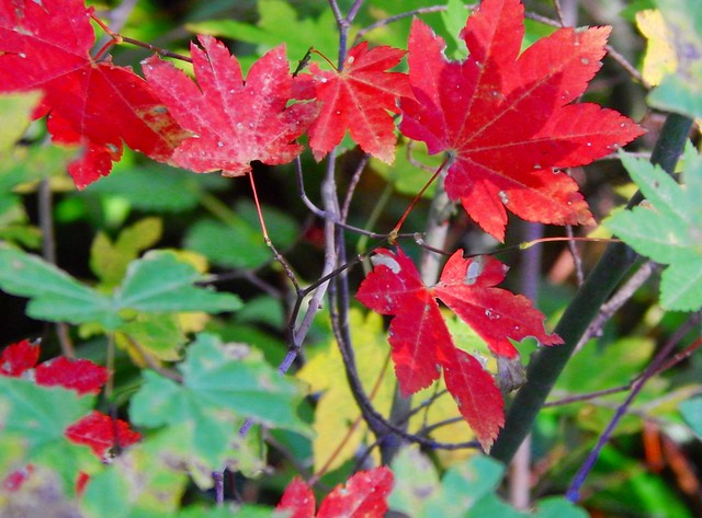 Vine Maple~ One Leaf Making a Shadow on Another