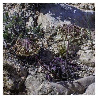 Asclepias scaposa (Stalked Milkweed) | by AnEyeForTexas