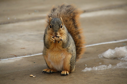 Squirrels in Ann Arbor at the University of Michigan (December 12, 2016) | by cseeman