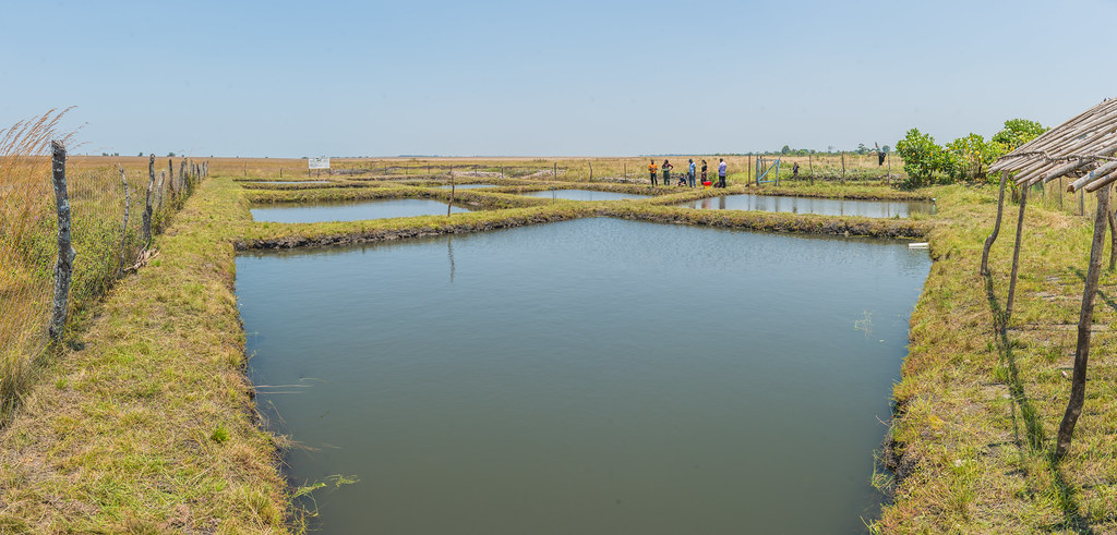 Ponds used for fish fingerling production in Zambia.Photo by Chosa Mweemba.