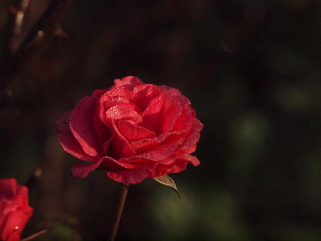 rosiger Morgen 001