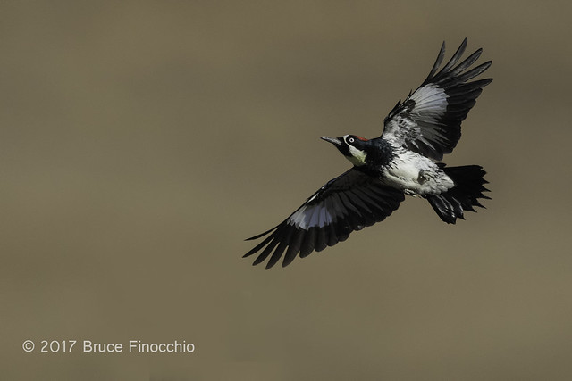 Acorn Woodpecker In Flight