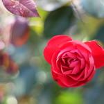 Rose (薔薇)21