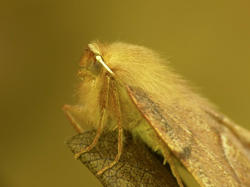 Feathered Thorn (female)
