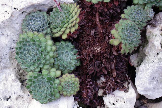 Echeveria setosa var. ciliata (Moran) R.V. Moran  - BG Berlin