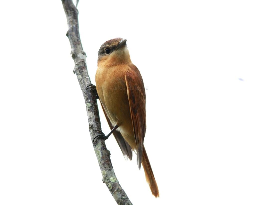 Caneleiro - Pachyramphus castaneus