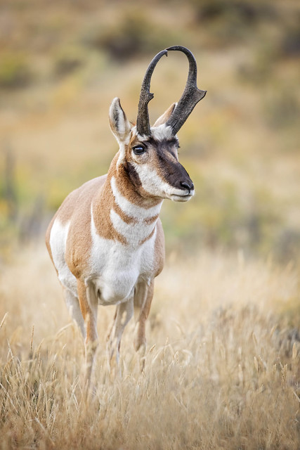 Yellowstone Pronghorn...