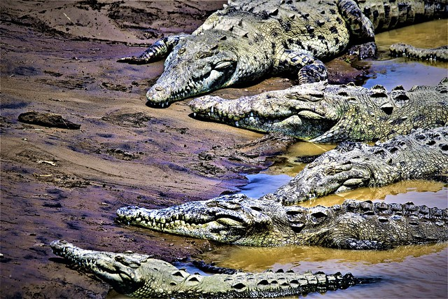 Six all go to the 'Crocodile Camouflage Club...'