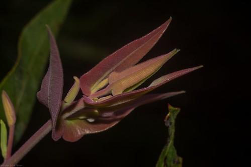 myrtaceae angophora angophorasubvelutina australiantrees newgrowth flaggycreeknaturereserve oraravalley clarencevalley northcoastbotanicalsubdivision northernrivers nsw nature australia