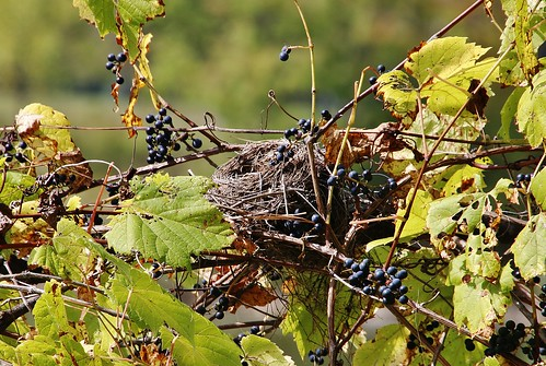 lakeside wild grapes leaves nest fall empty goneforthewinter sunny yellow purple weave vines