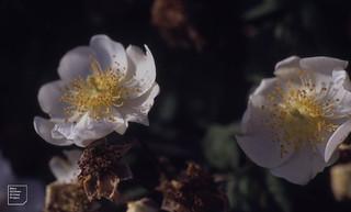 Rosa arvensis. Clubbed stigma. Monknash Stream 1992