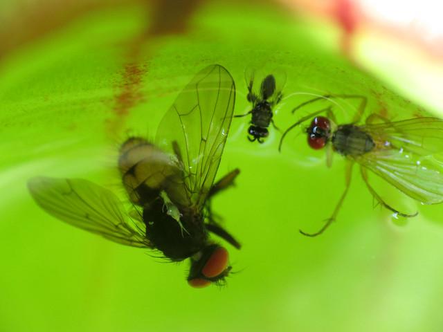 Perished Flies