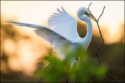 florida wakodahatcheewetlands wakodahatchee wetlands nikon 20150402d4122359 d4 nikond4 600mmf4 bird birds egret greategret behaviour nestbuilding spring apr april 2015 5r