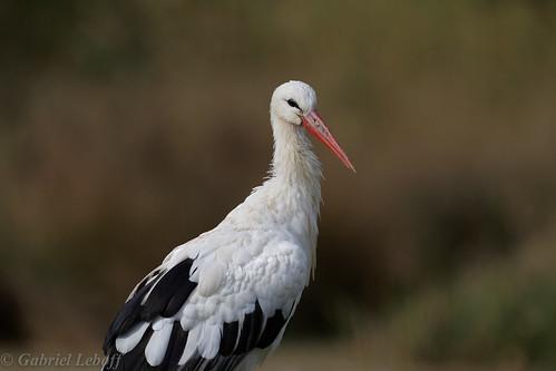 Cigogne blanche-Ciconia ciconia - White Stork 4475_DxO.jpg