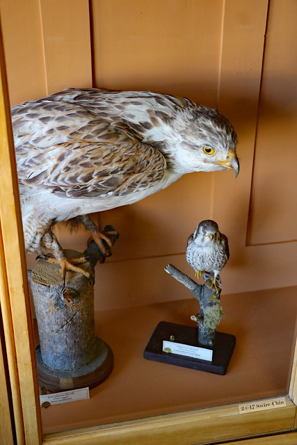Specimen of a hawk
