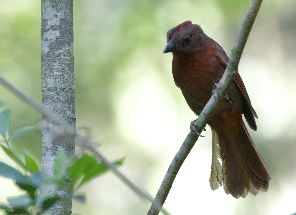 Red-crowned Ant-tanager_17-09-17_Habia rubica