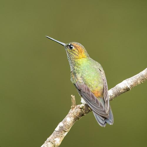 colombia fincaalejandria greenishpuffleg southamerica haplophaediaaureliae
