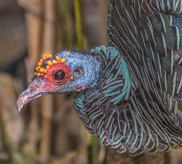 Ocellated Turkey #2