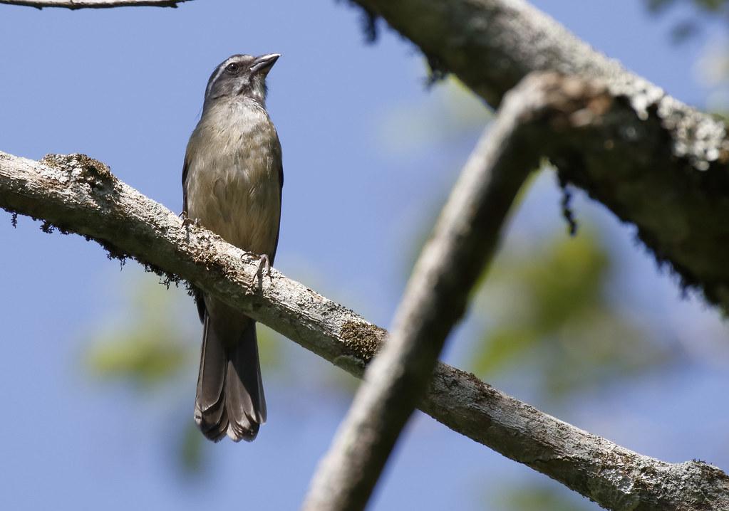 Green-winged Saltator_17-09-18_Saltator similis