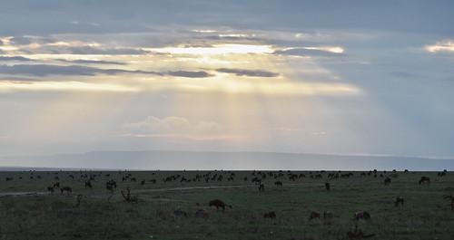 africa safari herd dawn vacation mara porinilioncamp plains kenya gamewatchers maasaimara grassland sunlight sunset wildebeast wilderness masai