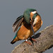 Kingfisher preening