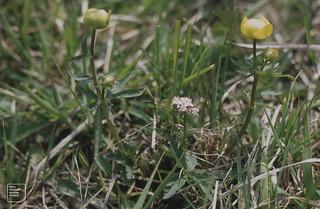 Globe flower and marsh valerian. Penderyn. 1978