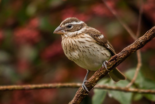 Rose-breasted Grosbeak -juvenile- in Colombia | by PriscillaBurcher