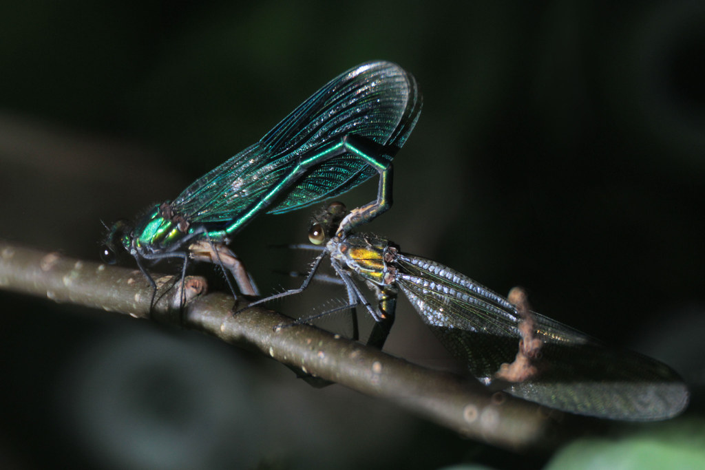 banded demoiselle mating
