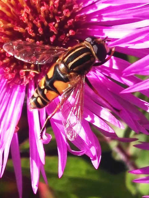 Große Sumpfschwebfliege - Helophilus trivittatus