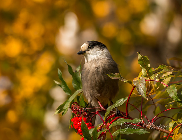 Grey Jay Explore 10/18/17