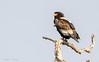 Bateleur Eagle (Terathopius ecaudatus) by sharon.verkuilen