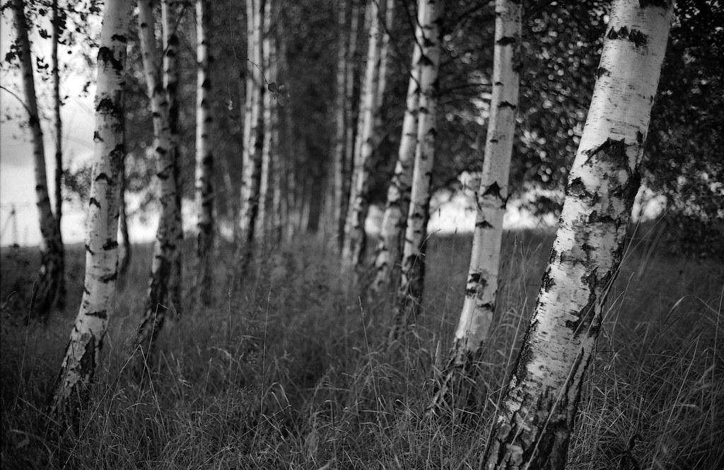 Brzozowa aleja / Birch alley
