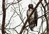 Martial Eagle (Polemaetus bellicosus) by George Wilkinson