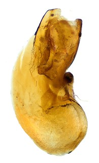 Medon apicalis (Kraatz, 1857) Genital | by urjsa