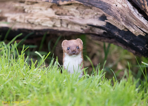 Weasel | by Tony CC Gray