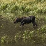 Moose calf at Moose Ponds